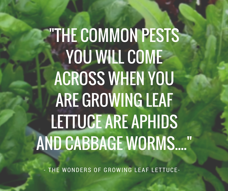 Pests Leaf Lettuce