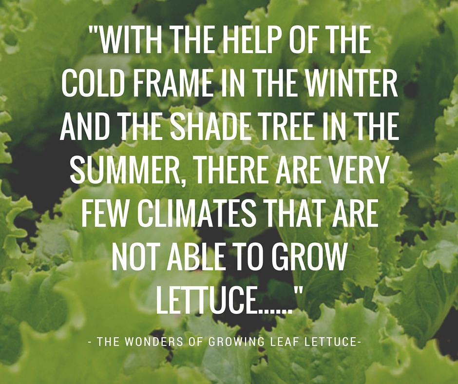 leaf-lettuce-grow