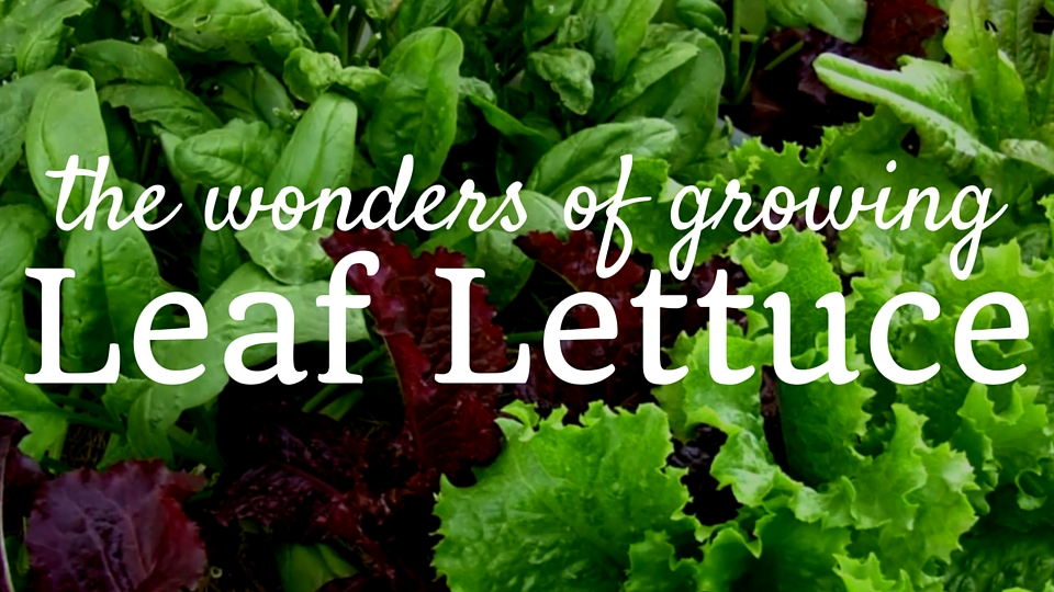 Eat Your Leafy Greens -The Wonders of Growing Leaf Lettuce