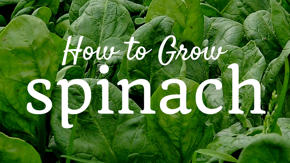 Eat Your Leafy Greens: How to Grow Spinach